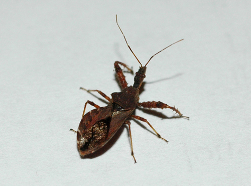kissing bug 2