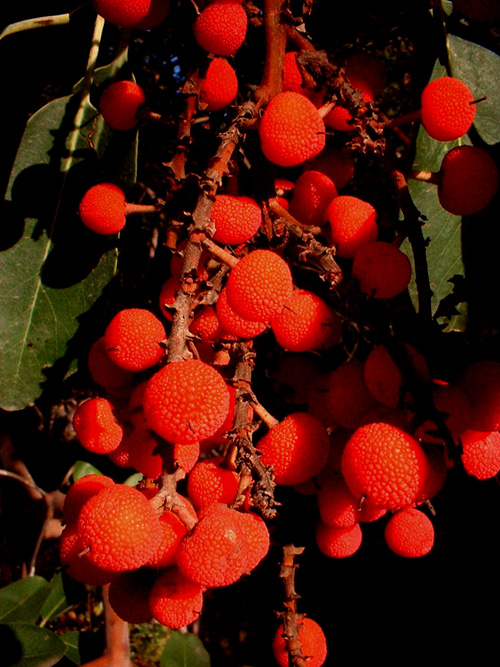 madrone berry cluster 2