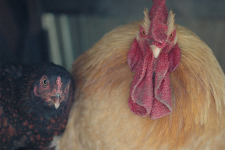 tonia and buffy, the biggest and the smallest TLA... tonia is a sebright bantam and Buffy was a Buff Orpington.