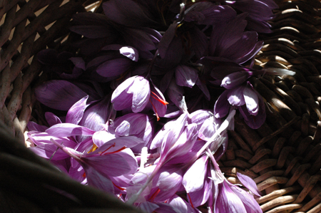 saffron harvest.