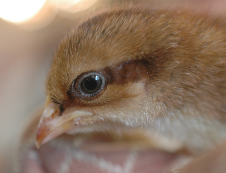 Speckled Sussex Chick.