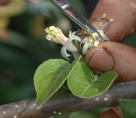 Carefully trim away all the Anthers along the outside edge of the rim, leaving the five