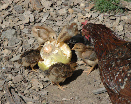 Chicks eating an unwanted turnip.