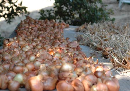 curing potato onions