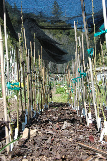 Red fleshed apple seedlings grafted in nursery