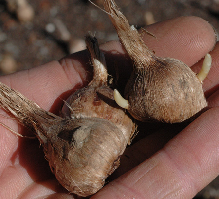 saffron bulbs w: husks