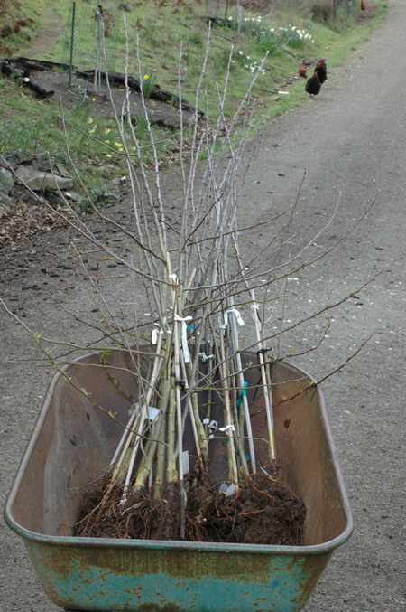 Apple seedling from my red fleshed apple breeding experiments headed for the trial rows.