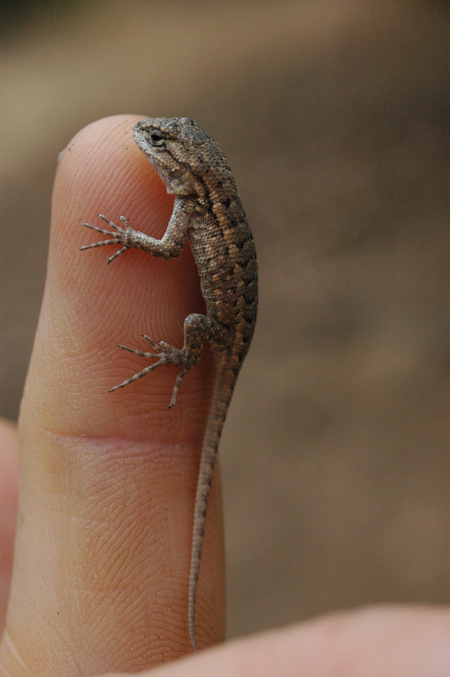 Baby fence lizard. They start coming out in July. They are born with large heads so they can start eating right away.