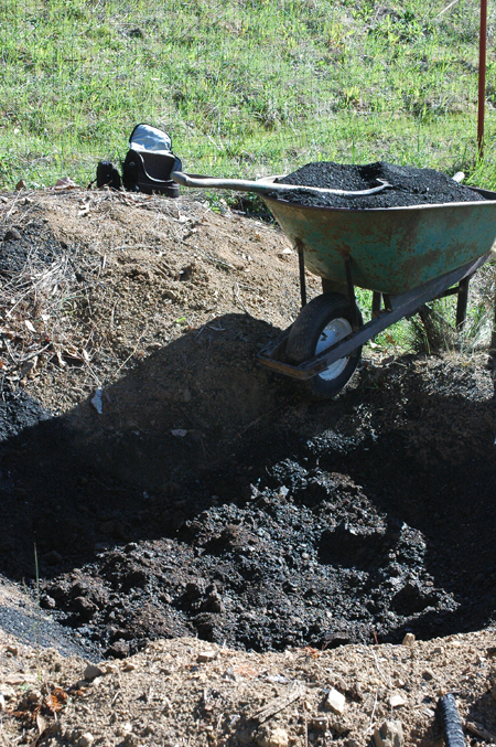 Reburying the pit with charcoal mixed in. The tree has done very well in spite of a serious drought. It was plump and flushed deep green all year. I did mix in some urine as I went to charge up the charcoal. otherwise, it will soak up all the nitrogen during the first year leaving none for the tree.