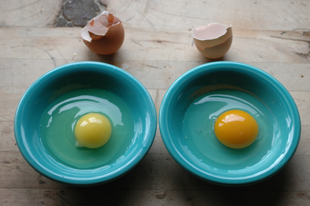 large store egg v.s. small turkeysong egg. I'm always shocked when I see how sallow and pathetic store eggs are. Organic and
