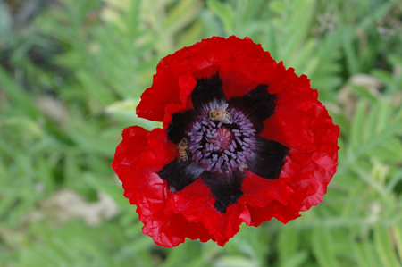 Oriental Poppy. I planted 3 varieties of these as experiments in tree understories. They haven't performed that well in that capacity, but they are still very cool and extremely rugged. I tried to kill some and the just keep coming back.