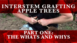 UPDATE: See my video series on Interstem grafting apples here!