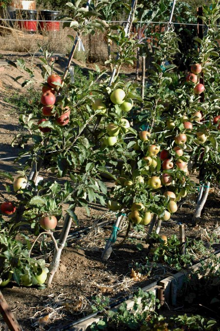 This picture shows 5 varieites of apple. The same picture taken this year would likely show 8 or more. There are probably close to 40 varieties in this 30 foot row, none likely to bear much more than 10 lb of fruit in a good year.